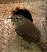 wren house plans. Free Wren House Plans Easy DIY Project To Attract Birds