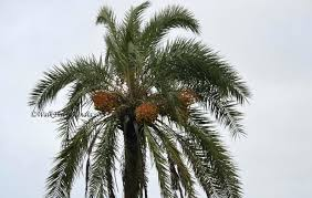 Palm Tree Chart Types Of Palm Trees Lainiciativa Co