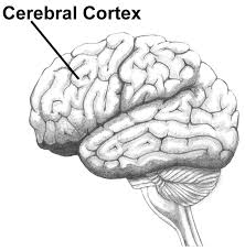 Image result for brain cortex