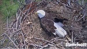 florida eagle cam. Perfect Eagle Photo On Florida Eagle Cam S