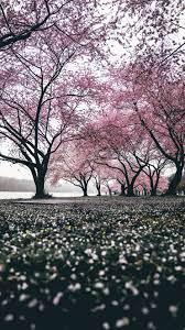Wallpaper Sakura, Trees, Flowering ...