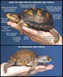 24 Best Mock Turtle Images Turtle Turtle Care Turtle Habitat