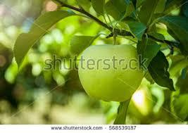 green apple fruit tree. green apple on tree fruit