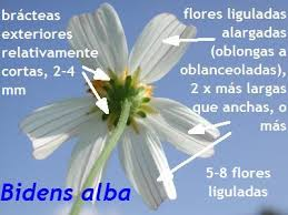 flor de Aceitilla에 대한 이미지 검색결과