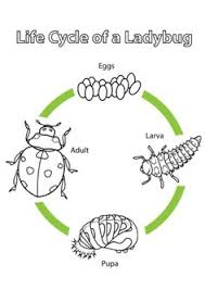 Small Picture Life Cycle of an Ant Coloring page from Ants category Select from
