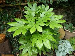 Image result for fatsia plant