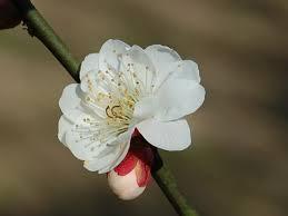 「八重海棠」の画像検索結果