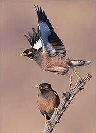 Hindi Birds Name Chart Common Myna Wikipedia