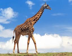 pictures of a giraffe.  Pictures Giraffemale In Pictures Of A Giraffe F