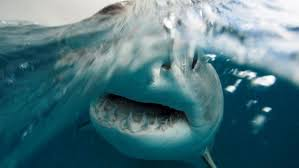 wa s great white population twice that of east coast