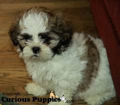Mature shis tzu for sale