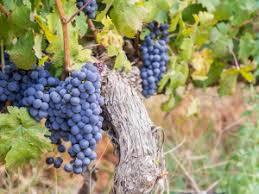 Afbeeldingsresultaat voor wijnrank