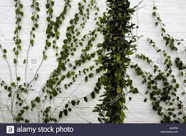 Greenhouse Interior Showing Green Leafy Wall Climbing Plants Stock Wall Climbing Plants