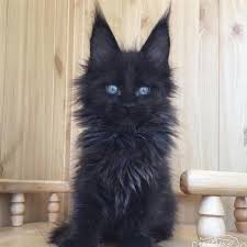 fluffy black kittens with blue eyes. Wonderful With When You Own A Fluffy Black Cat Itu0027s Like Being In Studio Ghibli Movie  247 In Fluffy Black Kittens With Blue Eyes E