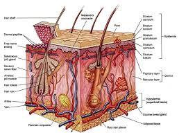 Hasil gambar untuk sistem ekskresi pada manusia