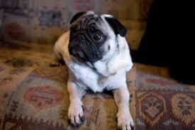 Pug Weight Chart In Kg Pug Size How Big Do Pugs Grow Lucky Pug