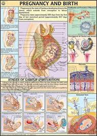 Pregnancy Birth For Human Physiology Chart