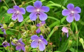 Растения луга Экология Реферат доклад сообщение кратко  Рис 172 Герань луговая geranium pratense