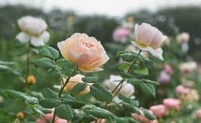 Flower of the month January: Rose - Cowell's Garden Centre | Woolsington