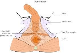 fitforprostatesurgery wp content uploads 2016 11 male pelvic floor png