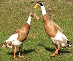 Indian Runner Duck Breed Information Modern Farming Methods