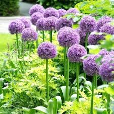 Image result for allium bulb copyright-free images