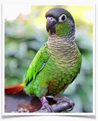 Green Cheek Conure Normal