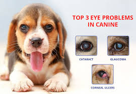 it is very important to take care of your dog s eyes the recent surge in eye issues in dogs is a worrying trend it has also raised a question mark over