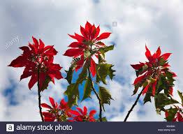 Red Weihnachtsstern Baum Gegen Blauen Himmel Morelia Mexiko