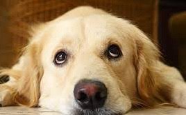 chocolate golden retriever. Wonderful Chocolate My Dog Ate Chocolate  Signs Poisoning If Your Golden Retriever  Intended Chocolate A