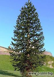 See more of palm beach island resort & spa on facebook. Chilean Pine Monkey Puzzle Tree Weird Trees Trees To Plant Monkey Puzzle Tree