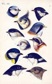 Bird Beak Chart 1890 Blue Tit Greenbacked Tit Parus Musicapa Passerine Bird Beak Feather Natural History Antique Bird Print Ornithology Chart Wall Art