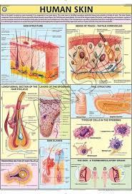 Human Skin For Human Physiology Chart