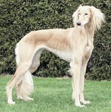 saluki dog. saluki dog