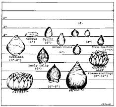 Fall Planted Bulbs And Corms 7 410 Extension