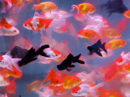 goldfish wallpaper desktop. Plain Goldfish Goldfish For Wallpaper Desktop N