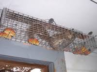 squirrel in ceiling. Plain Squirrel You May Want To Read About How Much Does It Cost Remove Squirrels In The  Attic But Price Varies Your Best Bet Is Click Here For A Squirrel  On Squirrel In Ceiling I