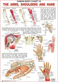 Hand Body Chart Human Body Charts The Arms Shoulders And Hand