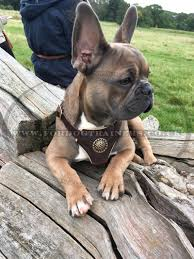 designer dog harness for small dog for uk