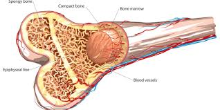 bone tissue how pemf therapy promotes bone tissue regeneration pemf therapy
