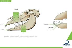Jaw Chart Enlargement Of The Equine Skull Jaw Chart Anatomy Teeth