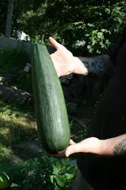Image result for large zucchini pics