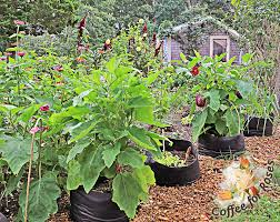 black smart pots are especially good for those who garden where the season is short or the spring weather tends to be cool in those climates the black pots
