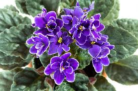african violets on display at annual show and