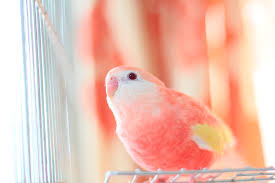 Pretty Bird Parakeet Colors Variation And Food Choice 2019