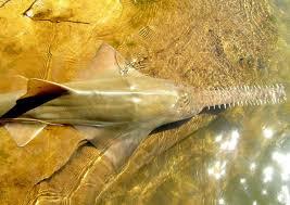 Скат пилорыл или рыба пила Мастерок жж рф 15 foot sawfish