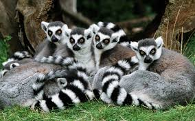Картинки по запросу ring tailed lemur
