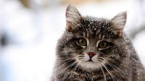 Desktop Background Winter Cats Wallpaper