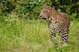 n leopard