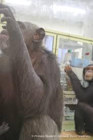 Monkey Uses Vending Machine Custom Gallery Team Tanaka Chimpanzee Ai Primate Research Institute